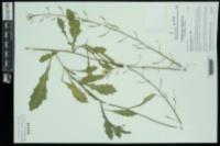 Diplotaxis muralis image