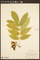 Image of Castanospermum australe