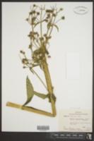Swertia caroliniensis image