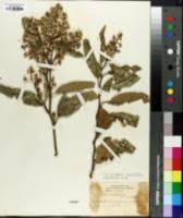 Image of Critoniopsis pycnantha