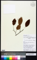 Image of Coccoloba spinescens