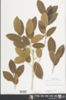 Drypetes diversifolia image