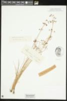 Image of Rhynchospora hirsuta