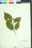 Image of Psychotria cuspidata