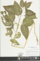 Iresine rhizomatosa image