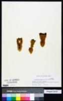 Pachycereus pringlei image