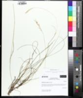 Image of Danthonia epilis