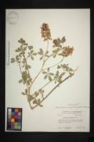 Image of Pediomelum cuspidatum