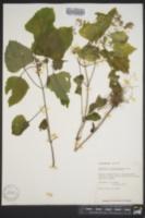 Image of Ageratina luciae-brauniae