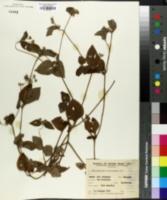 Image of Blainvillea biaristata