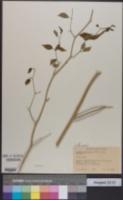 Capsicum cardenasii image