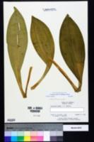 Image of Melanthium woodii