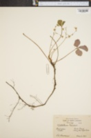 Image of Waldsteinia doniana