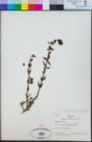 Teucrium bicolor image