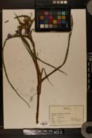 Image of Tradescantia virginica