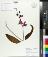 Image of Phalaenopsis pulcherrima