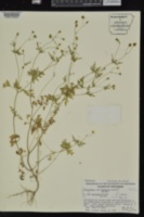 Coreocarpus sonoranus image