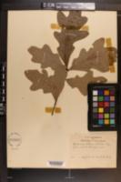 Quercus alba image