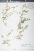 Panicum dichotomum image