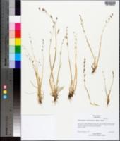 Pleuropogon californicus image