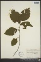 Ostrya virginiana var. lasia image