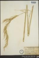 Hesperostipa comata subsp. comata image