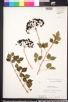 Image of Eleutherococcus trifoliatus