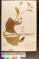 Elephantopus carolinianus image