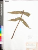 Image of Cnemidaria mutica