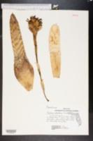 Image of Aechmea orlandiana