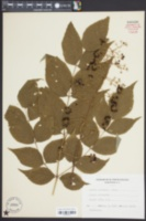 Image of Aralia chinensis