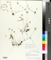 Marsilea vestita subsp. vestita image