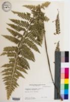 Image of Asplenium bulbiferum