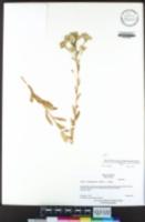 Sericocarpus oregonensis image