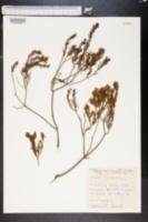 Image of Acacia lineata