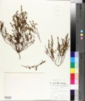 Image of Chamaesyce scoparia
