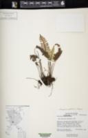 Pleopeltis madrensis image