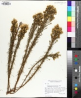 Image of Ericameria pinifolia