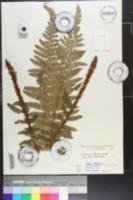 Image of Polystichum igaense