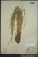 Carex sterilis image