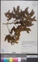Lithraea molleoides image