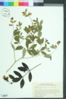 Baptisia lanceolata image