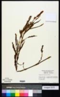 Image of Polygonum pulchrum