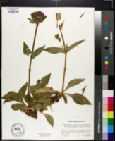 Gentiana purpurea image