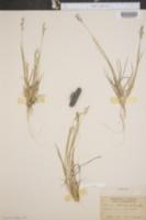 Image of Panicum strictum