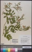 Image of Lathyrus holochlorus