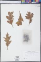 Quercus garryana image