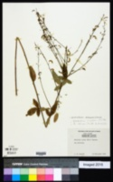 Desmodium obtusum image