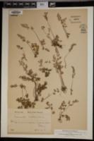 Anogramma leptophylla image