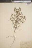 Plantago arenaria image